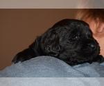 Puppy 4 Newfoundland