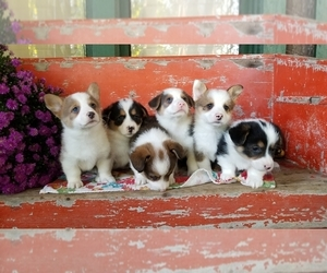 Pembroke Welsh Corgi Puppy for Sale in CHAPELHILL, Indiana USA