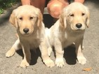 Golden Retriever Puppy For Sale in TOMBALL, TX