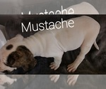Puppy 3 American Bulldog