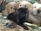 Labrador Retriever Puppy For Sale in KUNKLETOWN, PA, USA