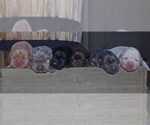 Labrador Retriever Puppy for Sale in FOUNTAIN, Colorado USA