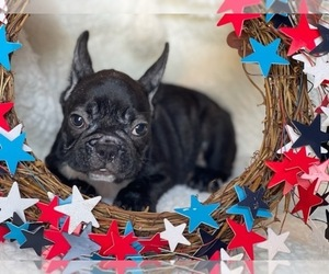 French Bulldog Puppy for sale in HAMDEN, CT, USA