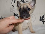French Bulldog Puppy For Sale in SARATOGA SPRINGS, NY