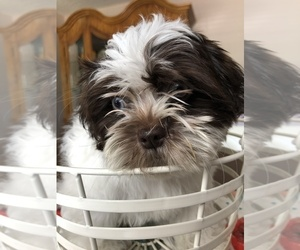 Shih Tzu Dog for Adoption in MIAMI, Florida USA