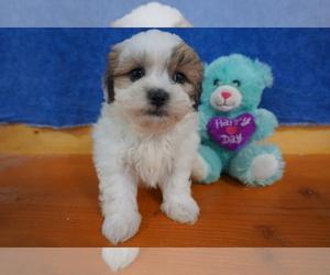 Mal-Shi Puppy for sale in CHILTON, WI, USA