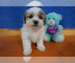 Adorable little Matltie Tzu puppies