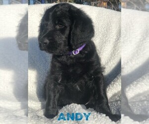 Labradoodle Puppy for sale in OSAGE BEACH, MO, USA