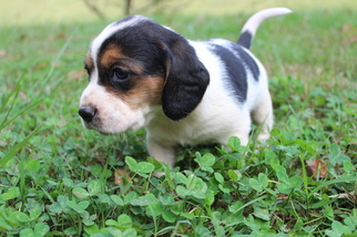 Bagle Hound Puppy For Sale in STONY POINT, NC, USA