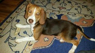 Beagle Puppy for sale in SAINT PETERSBURG, FL, USA