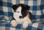 Akita Puppy For Sale in FREDERICKSBURG, OH, USA