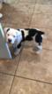 American Bulldog Puppy For Sale in SWAINSBORO, GA, USA
