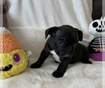 Small Photo #5 French Bulldog Puppy For Sale in JOHNS ISLAND, SC, USA