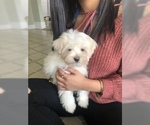Maltese Puppy For Sale in PHILA, PA, USA