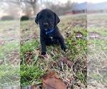 Puppy 2 Boxador