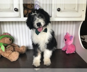 Aussiedoodle Puppy for sale in HONEY BROOK, PA, USA