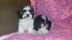 Shih Tzu Puppy For Sale in DETROIT, MI, USA