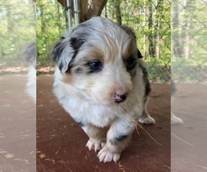 Australian Shepherd Puppy for Sale in ROCK SPRING, Georgia USA