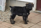 Giant Schnauzer For Sale Wooster Oh Female Candy