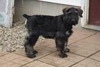 Schnauzer (Giant) Puppy For Sale in FREDERICKSBURG, OH, USA