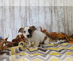 Small #1 Jack Russell Terrier-Jug Mix
