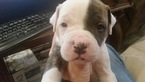 American Bulldog Puppy For Sale in PARKER, CO, USA