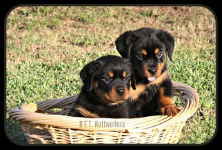 Rottweiler Puppy For Sale in HOUSTON, TX, USA