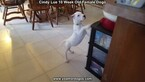 Small Photo #95 Dogo Argentino Puppy For Sale in PINEVILLE, MO, USA