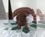 Puppy 8 Cavapoo