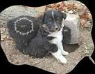 Miniature Australian Shepherd Puppy For Sale in AVERY, TX, USA