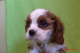 Cavalier King Charles Spaniel Puppy For Sale in PATERSON, NJ