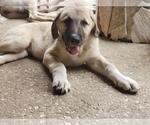 Puppy 5 Anatolian Shepherd-Maremma Sheepdog Mix