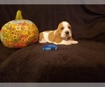 Small #10 Basset Hound