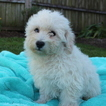 Bichon Frise Puppy For Sale in GAP, PA, USA