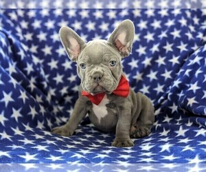French Bulldog Puppy for sale in STEVENS, PA, USA