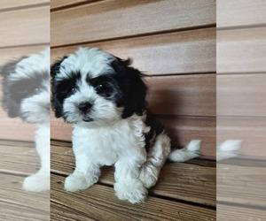 Zuchon Puppy for sale in FAIRFIELD, IL, USA