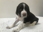 Small #1 English Springer Spaniel