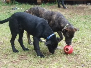 Lab mix 8mth old puppies looking for a family home