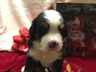 Bernese Mountain Dog Puppy For Sale in COLUMBIA, SC, USA