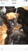 Boxer Puppy For Sale in RUNNEMEDE, NJ, USA