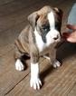 Boxer Puppy For Sale in ARTHUR, IL