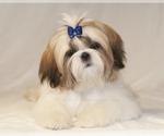 Shih Tzu Puppy For Sale in CONDON, MT, USA