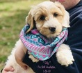 Labradoodle Puppy For Sale in WACO, TX, USA