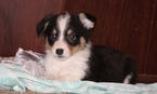 Pembroke Welsh Corgi Puppy For Sale in POTEAU, OK, USA