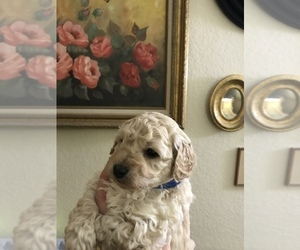 Poodle (Miniature) Puppy for sale in MOSES LAKE, WA, USA