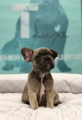 French Bulldog Puppy For Sale in MANLIUS, NY, USA