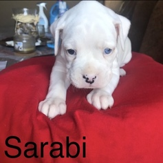 Boxer Puppy For Sale in CHULUOTA, FL, USA