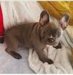 French Bulldog Puppy For Sale in GLENDALE, AZ, USA