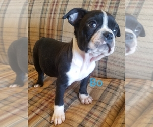 Boston Terrier Puppy for Sale in STOCKTON, Missouri USA
