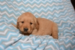 Golden Retriever Puppy For Sale in HARRISBURG, IL, USA